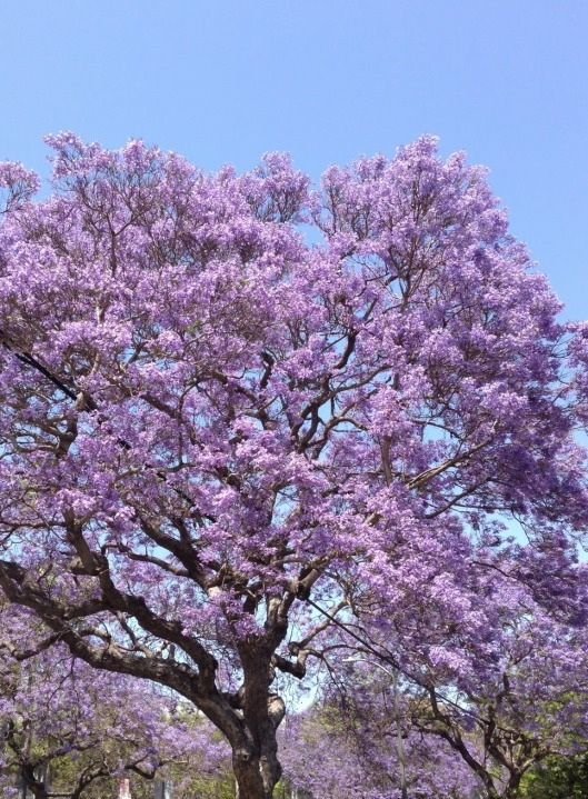 Jacaranda Trees in Bloom in Bangalore. Source.